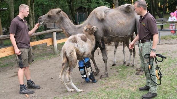 Kamel Orthese Tier- udn Freizeitpark Thüle