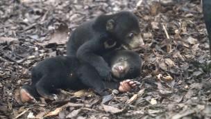 Malaienbären Europa Zoo Arnheim Innengehege
