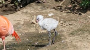 Zoo Osnabrück Flamingo Küken 2019