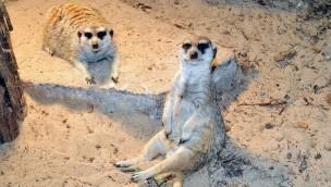 Zoo Rostock neue Erdmännchen-Anlage 2019