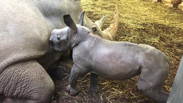 Burgers Zoo Nashorn Baby 2019 trinkt