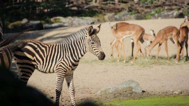 Erlebnis-Zoo Hannover Zebra Nachwuchs 2019