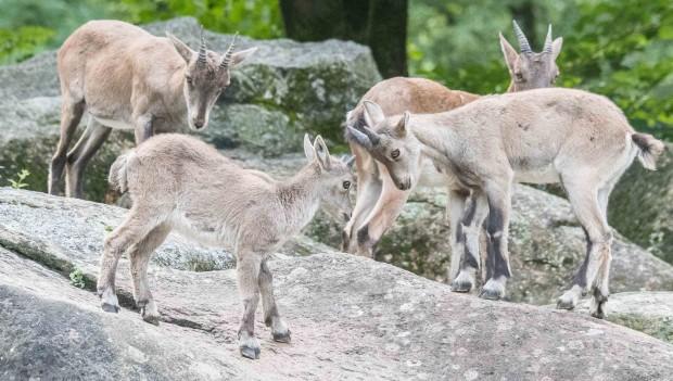 Zoo Hellabrunn Steinbock Nachwuchs 2019