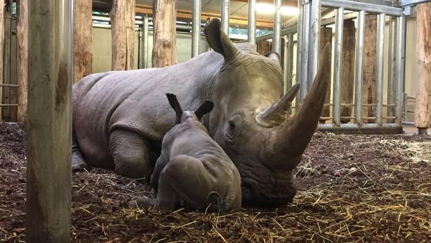 Nashorn Baby Burgers' Zoo Arnheim Mutter