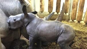 Baby-Nashorn in Burgers' Zoo: Erste Bilder vom Nachwuchs im August 2019!