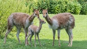 Tierpark Hellabrunn Nachwuchs bei Vikunjas und Yaks