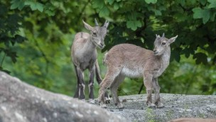 Tierpark Hellabrunn meldet zweifachen Nachwuchs bei den Alpensteinböcken