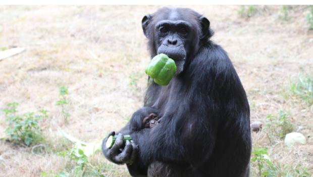 Zoo Osnabrück Schimpanse Nachwuchs