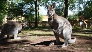 Serengeti-Park Känguru-Pfad 2019