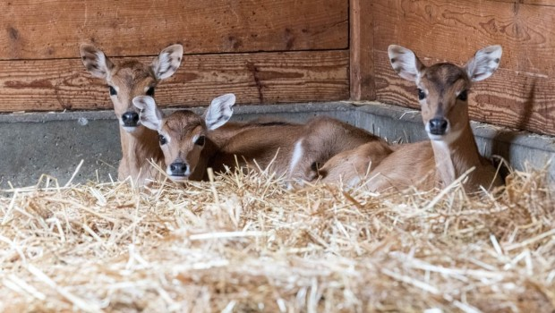 Tierpark Hellabrunn Antilopen-Nachwuchs 2019