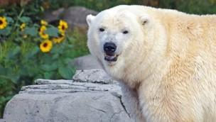 Erlebnis-Zoo Hannover: Ein Eisbär-Baby 2019 als krönender Jahresabschluss?