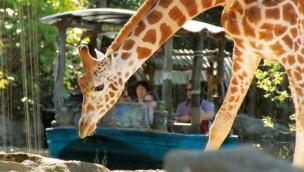 Erlebnis-Zoo Hannover Sambesi Boot Giraffen