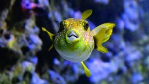 Kugelfisch Hellabrunn