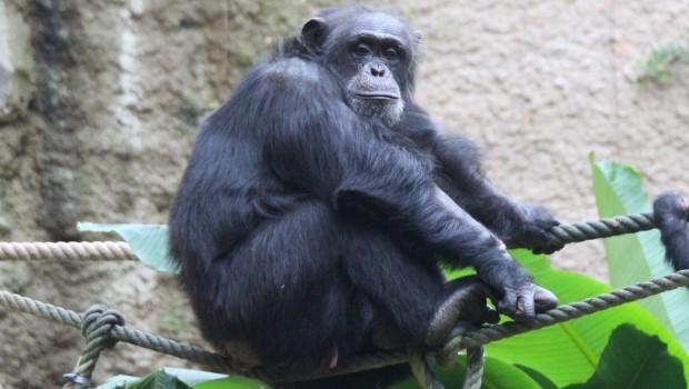 Tatu Schimpanse Zoo Osnabrück