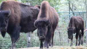 Zoo Osnabrück begrüßt neue Bisons und Schleiereulen im Oktober 2019