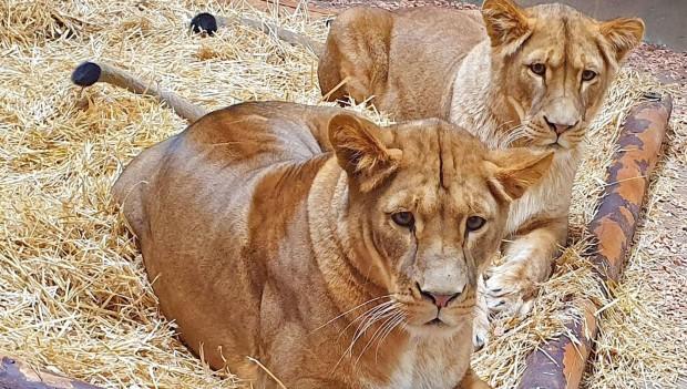 ZOOM Erlebniswelt neue Löwen 2019 Fiona und Lissy