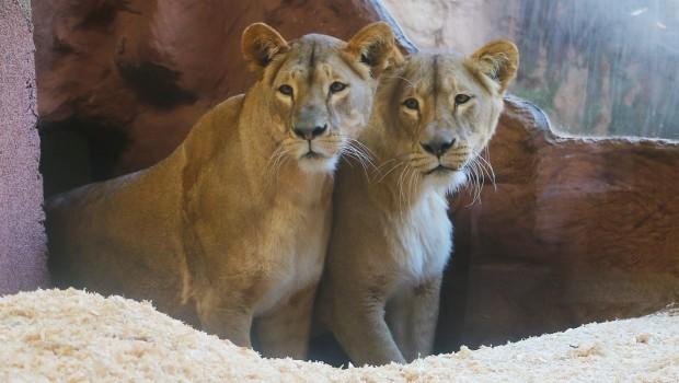 ZOOM Erlebniswelt neue Löwen Oktober 2019