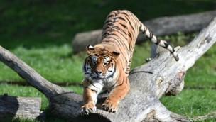 Bellewaerde Tiger