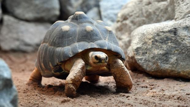 Hellabrunn Strahlenschildkröte