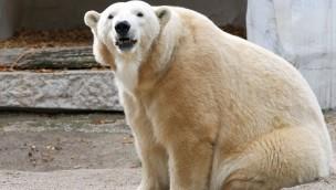 Zoo Karlsruhe Eisbär Nika