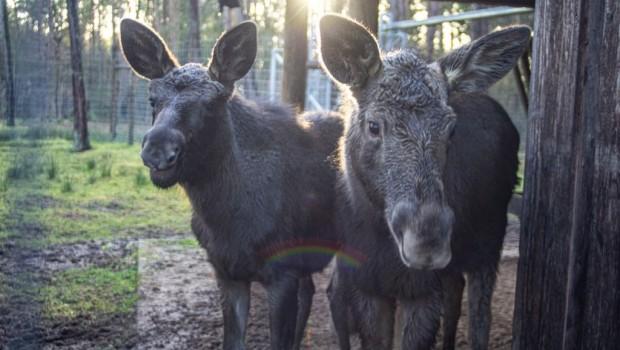 Wildpark Müden Elchmädchen 2020