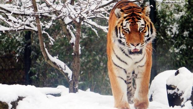ZOOM Erlebniswelt Tiger WInter