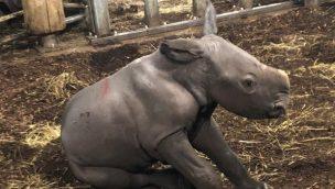 Nashorn-Zuwachs in Burger's Zoo: Tierpark zählt zu den erfolgreichsten Nashornzüchtern in Europa