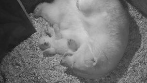 Video: Eisbär-Baby im Erlebnis-Zoo Hannover lernt laufen