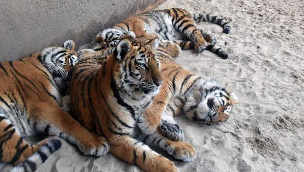 Erlebnis-Zoo Hannover Tiger Inventur