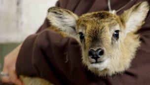 Weißnackenmoorantilope Baby 2020 Serengeti Park Hodenhagen