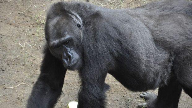 Zoo Rostock Gorilla Yene 2020