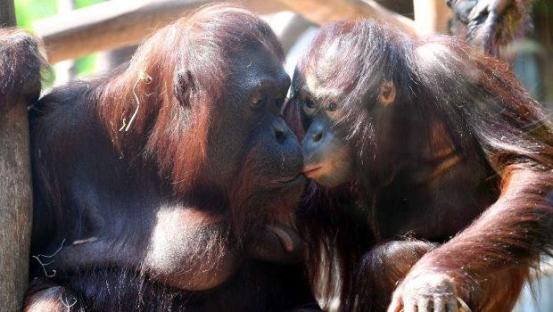 Zoo Rostock Orang-Utan Sunda Surya 2020