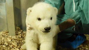Das kleine Eisbaermaedchen in der Wurfhöhle - Foto Erlebnis-Zoo Hannover, Hollemann