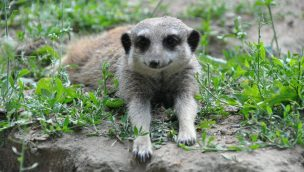 Tierpark Cottbus Erdmännchen