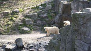 Erlebnis-Zoo Hannover Eisbär-Nachwuchs