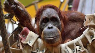 Matra im Tierpark Hellabrunn gestorben: Orang-Utan mit 44 Jahren tot aufgefunden