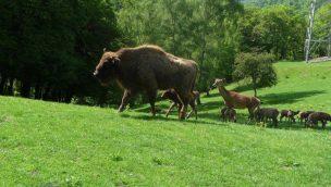Wild- und Freizeitpark Westerwald Wisente