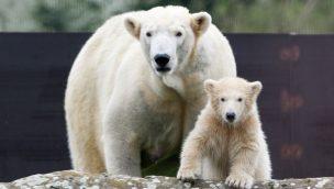 Eisbär Nanook Zoom Erlebniswelt
