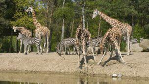 Burgers' Zoo Safari - Giraffen und Zebras